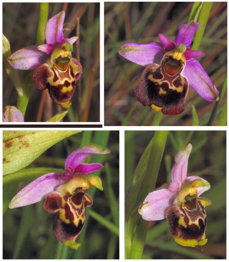 les ophrys tardifs de la région (84 et 26) - Page 2 O_gres12