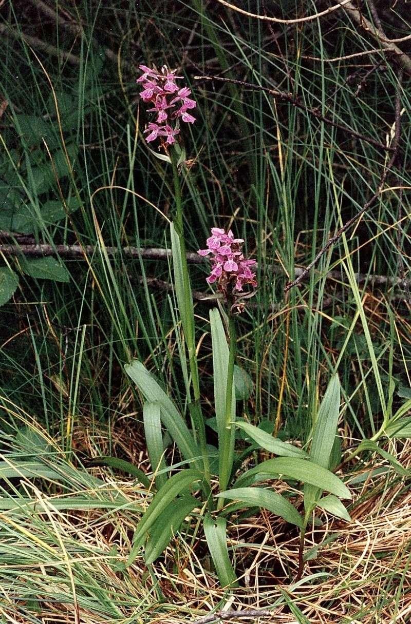 X Orchidactylorhiza Praube10