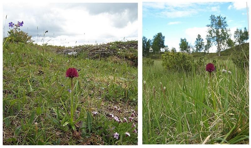 Gymnadenia s.l. en Scandinavie, juillet 2008 Runeii10