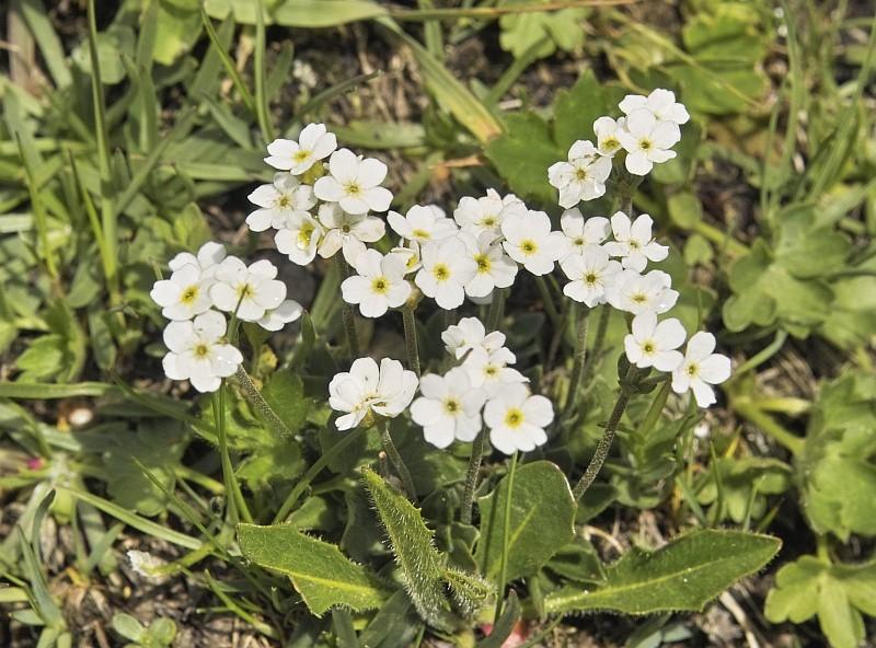 La flore en Haute Tarentaise - Page 2 Andros10