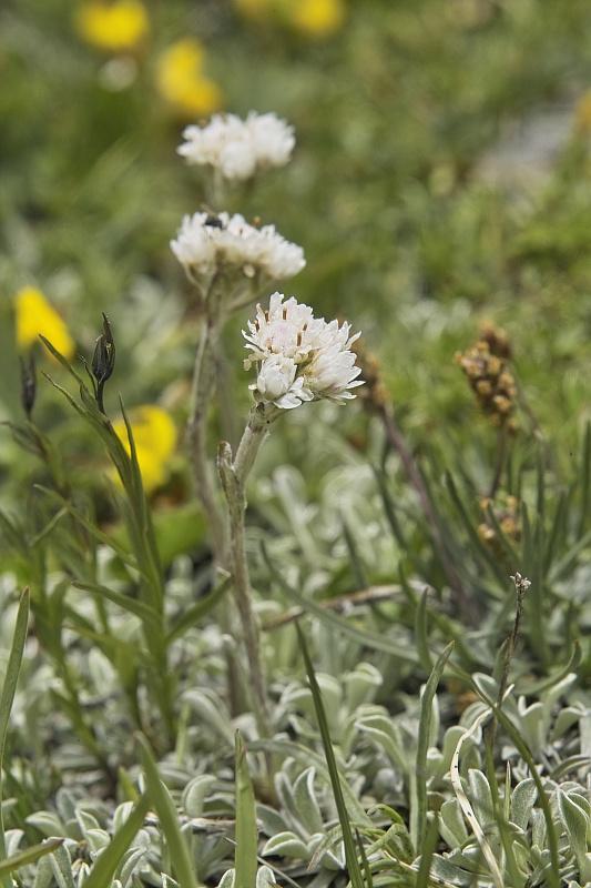 La flore en Haute Tarentaise - Page 2 Antenn10