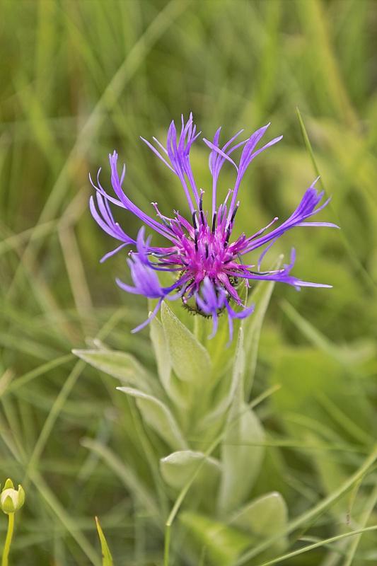 La flore en Haute Tarentaise - Page 2 Centau11