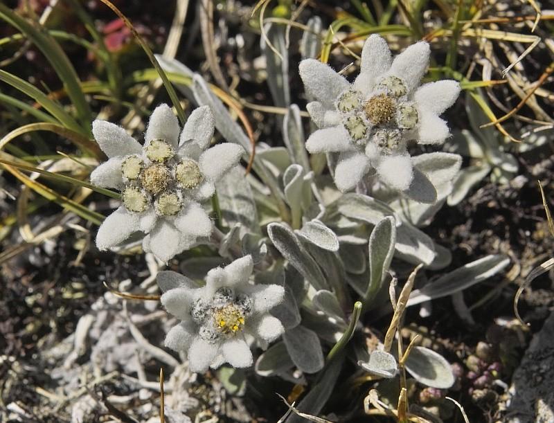 La flore en Haute Tarentaise - Page 2 Edelwe14