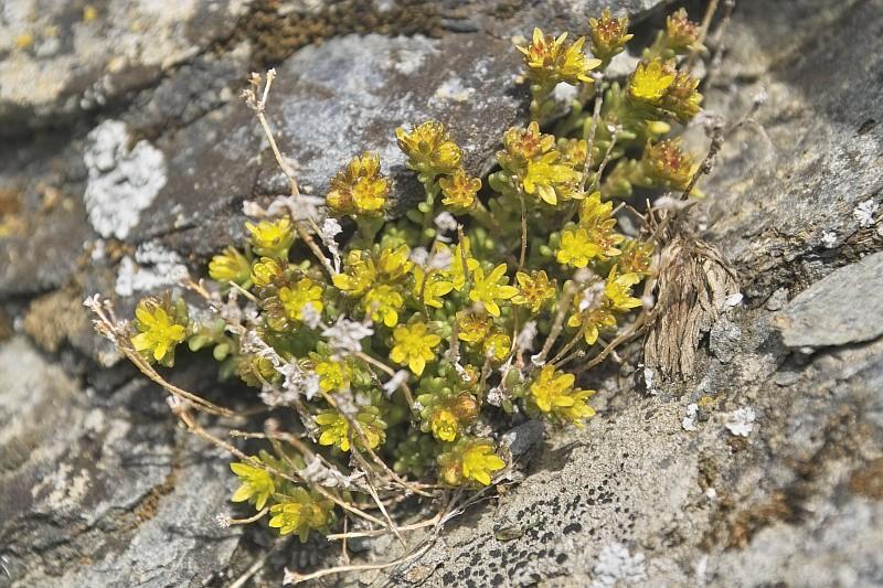 La flore en Haute Tarentaise - Page 2 Orpin10
