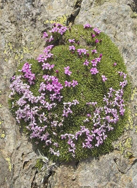 La flore en Haute Tarentaise - Page 2 Silene10