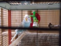 Bienvenue à la nouvelle perruche ! Dscf3413