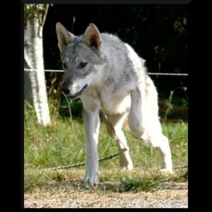 perdu Chien loup de Sarloos à Lorient 29401_10