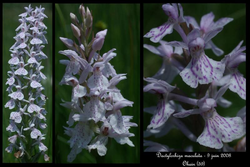 Dactylorhiza maculata ( Orchis maculé ) Dactyl11