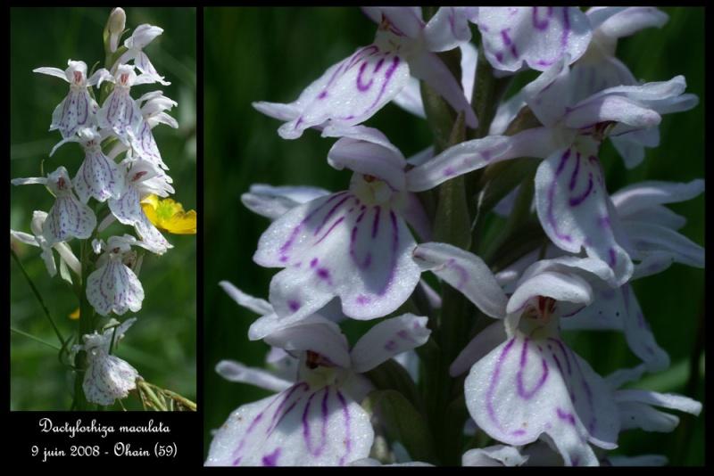 Dactylorhiza maculata ( Orchis maculé ) Dactyl12