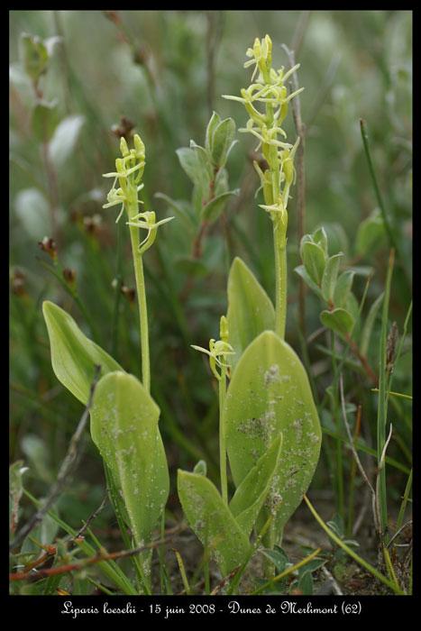 Liparis loeselii ( Liparis de Loesel ) Lipari11