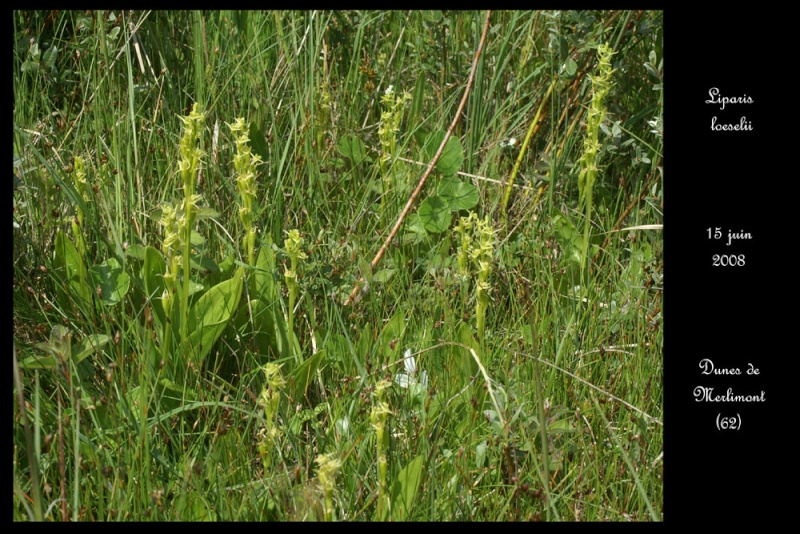 Liparis loeselii ( Liparis de Loesel ) Lipari14