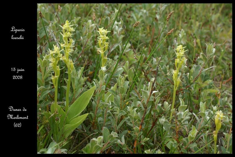 Liparis loeselii ( Liparis de Loesel ) Lipari17
