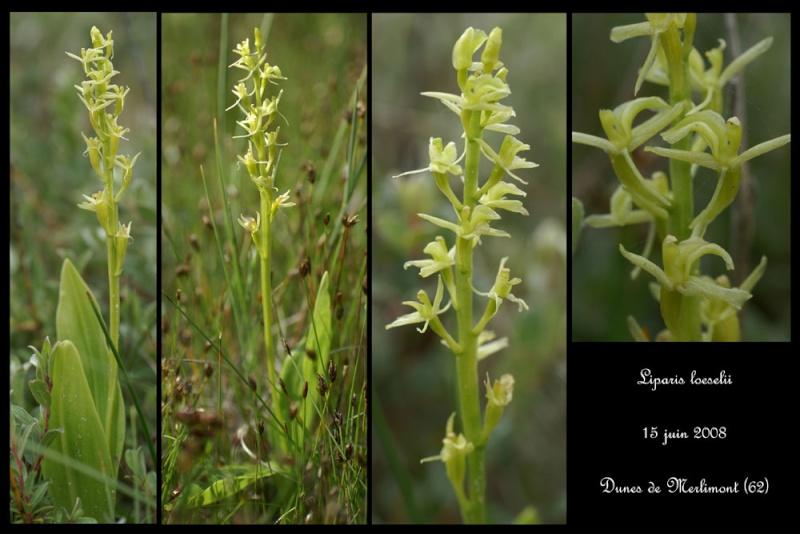 Liparis loeselii ( Liparis de Loesel ) Lipari18