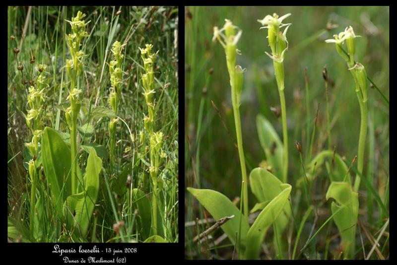 Liparis loeselii ( Liparis de Loesel ) Lipari19