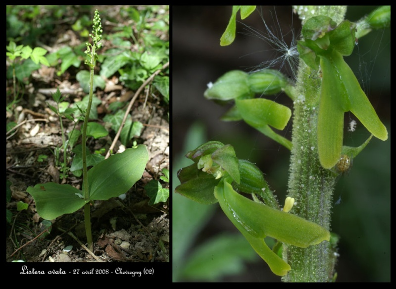 Neottia ovata (Listère à feuilles ovales) Lister10