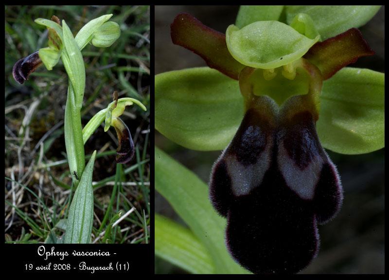 Ophrys vasconica ( Ophrys de Gascogne ) Ophr-v10