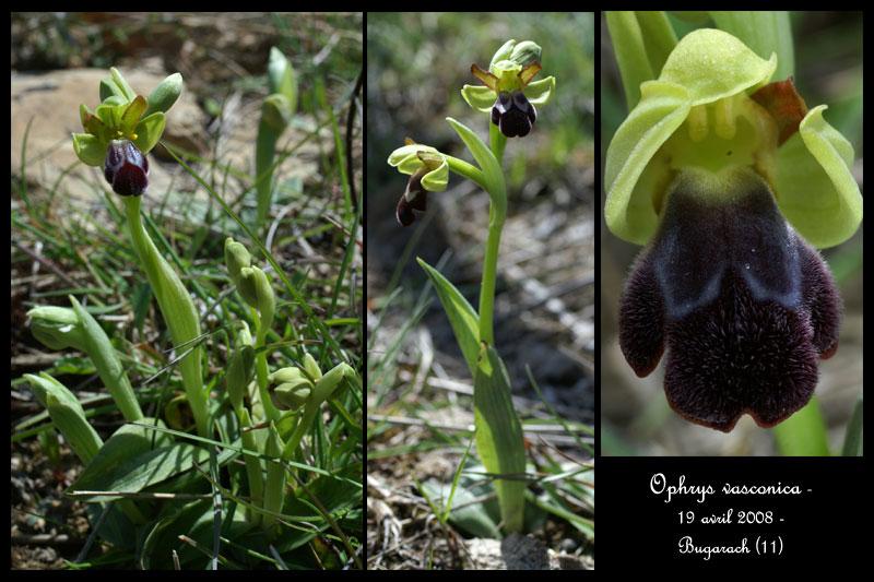 Ophrys vasconica ( Ophrys de Gascogne ) Ophr-v11