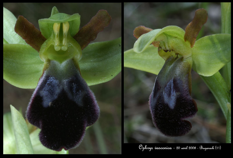 Ophrys vasconica ( Ophrys de Gascogne ) Ophr-v13