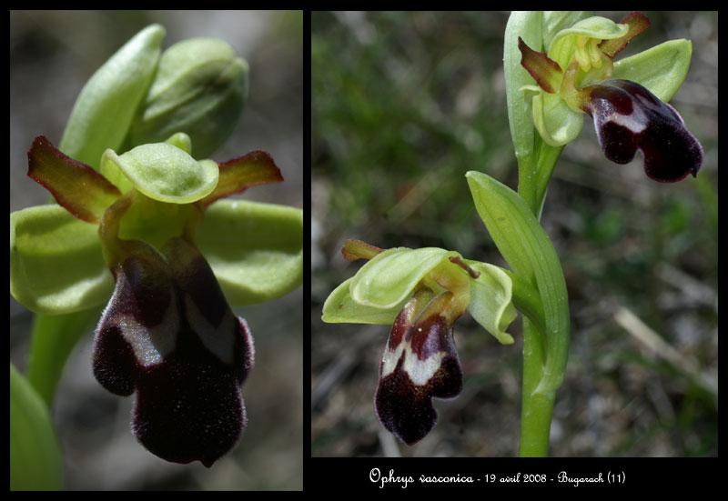 Ophrys vasconica ( Ophrys de Gascogne ) Ophr-v14