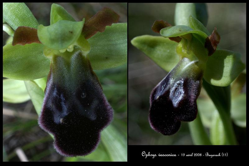 Ophrys vasconica ( Ophrys de Gascogne ) Ophr-v15