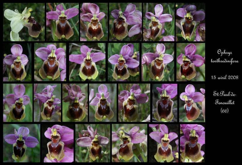 Ophrys tenthredinifera ( Ophrys guêpe ) Ophrys10