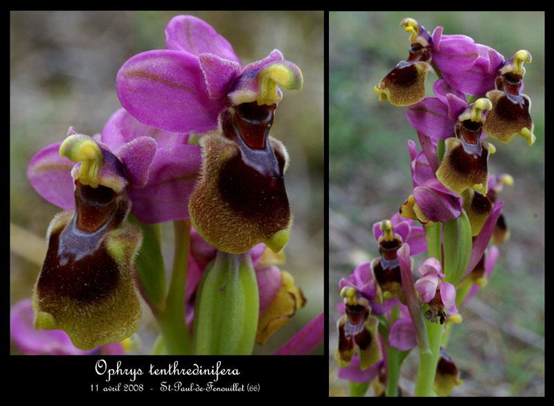 Ophrys tenthredinifera ( Ophrys guêpe ) Ophrys15