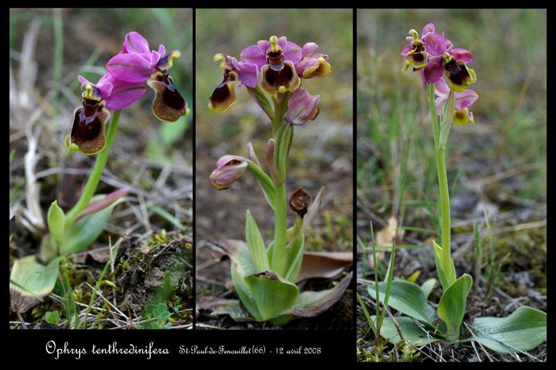 Ophrys tenthredinifera ( Ophrys guêpe ) Ophrys16