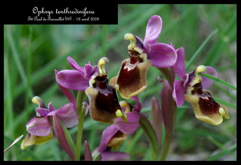 Ophrys tenthredinifera à St Paul de Fenouillet Ophrys18