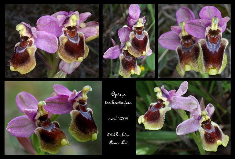 Ophrys tenthredinifera à St Paul de Fenouillet Ophrys20