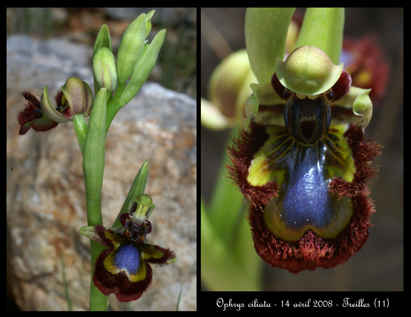 Ophrys speculum( Ophrys miroir ) Ophrys23
