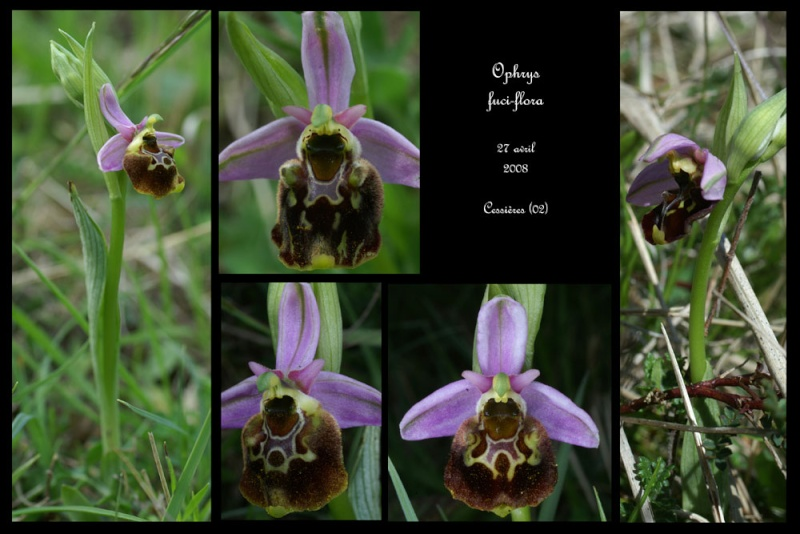 Ophrys fuciflora ( Ophrys frelon  ) Ophrys29