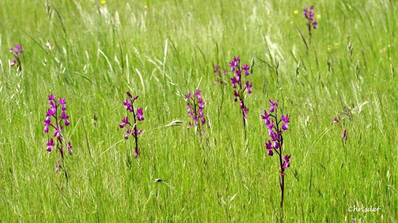 Anacamptis laxiflora ( Orchis à fleurs lâches ) Img_0510