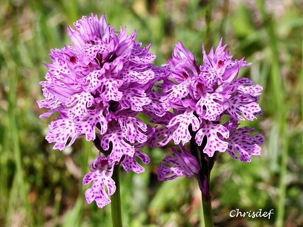 Neotinea tridentata ( Orchis tridenté ) Img_0512
