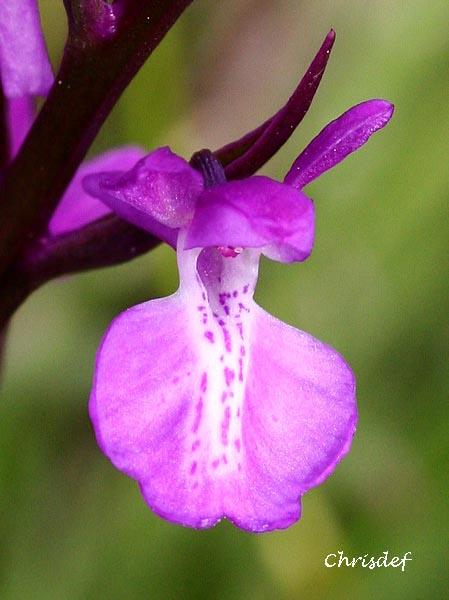 Anacamptis palustris ( Orchis des marais ) Img_0613