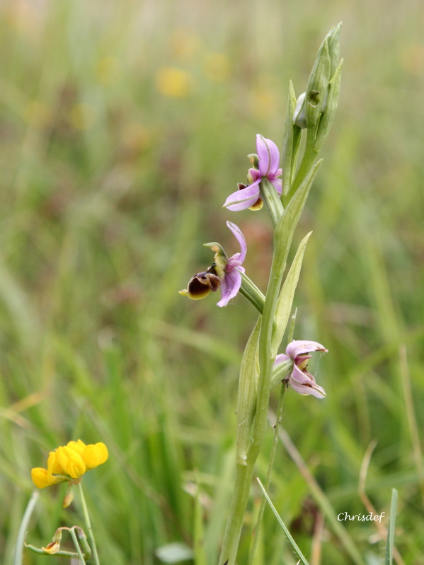 Ophrys santonica Op_san10