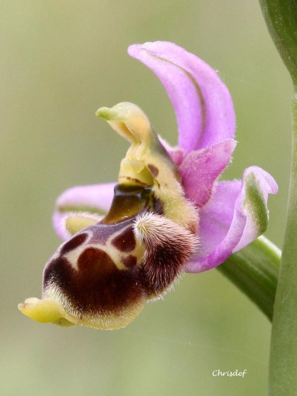 Ophrys santonica Op_san12