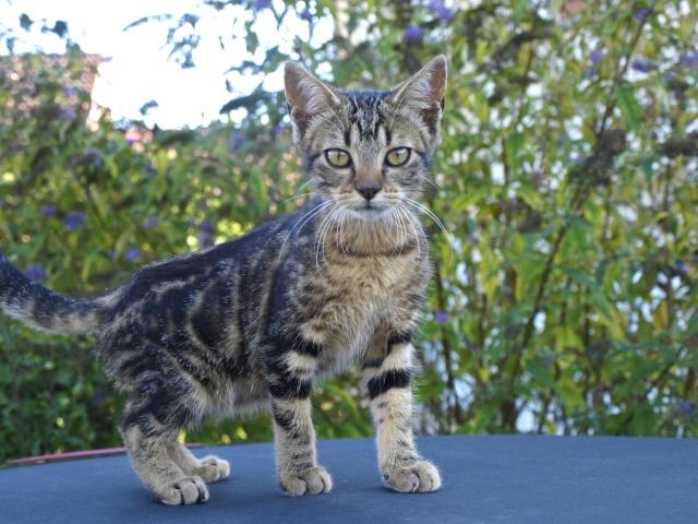 Perdu jeune chatte marbrée marron secteur les Echelles RETROUVEE Heidi110