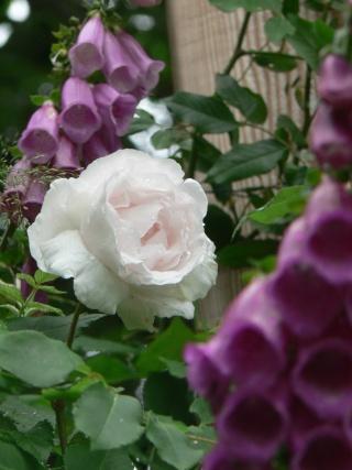 Digitalis purpurea P1010813