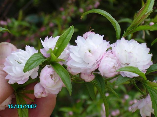 les prunus, ou la gloire du printemps! Prunus12