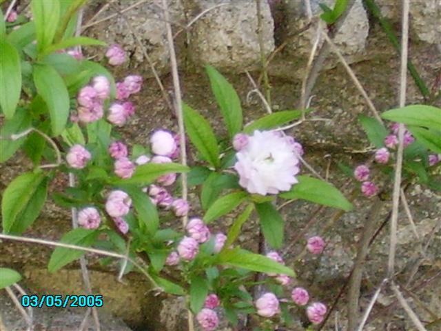 les prunus, ou la gloire du printemps! Prunus13