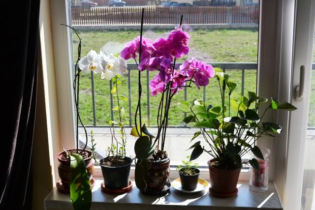 florile din apartament/gradina - Pagina 8 Dsc_0147
