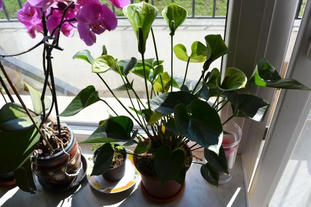 florile din apartament/gradina - Pagina 8 Dsc_0148