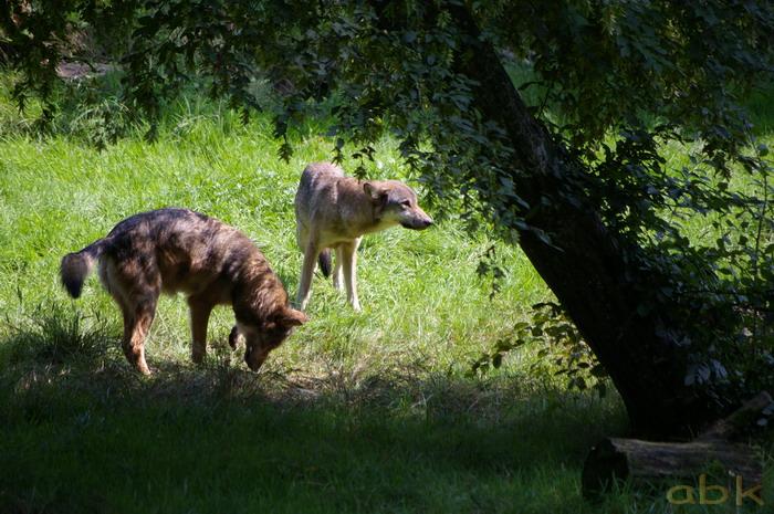 Le loup de retour dans les Vosges Imgp0310