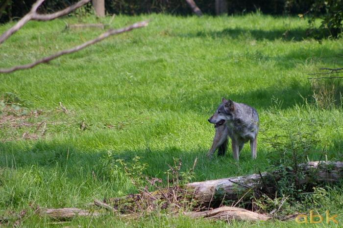 Le loup de retour dans les Vosges Imgp0311