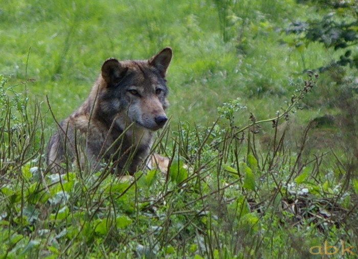 Le loup de retour dans les Vosges Imgp0312