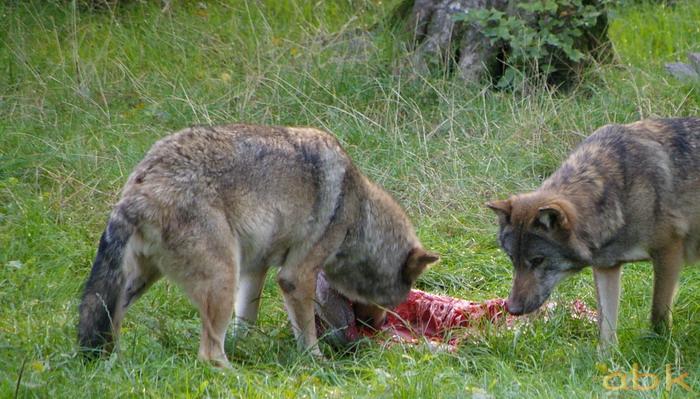 Le loup de retour dans les Vosges Imgp0410