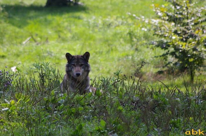 Le loup de retour dans les Vosges Parc_s13