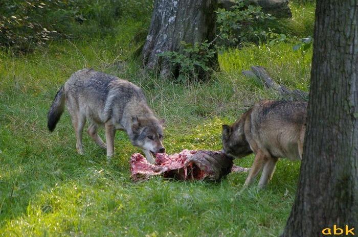 Le loup de retour dans les Vosges Parc_s16