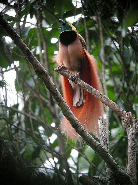 Chim Thiên Đường đẹp rực rỡ xứ Ghi-nê 25041110