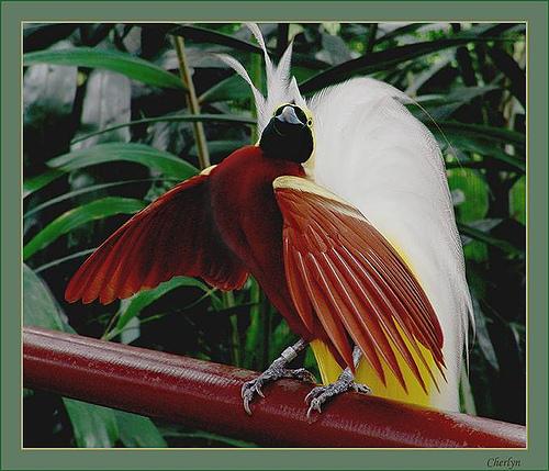 Chim Thiên Đường đẹp rực rỡ xứ Ghi-nê 25041111